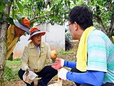 aT 임직원, 태풍피해 배 수출농가 일손돕기